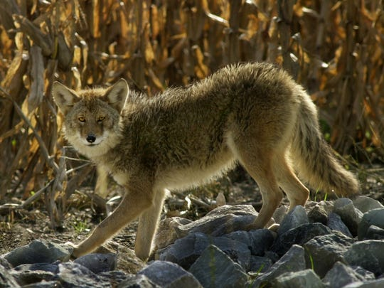 A coyote stands beside a Greenwood cornfield. Recent