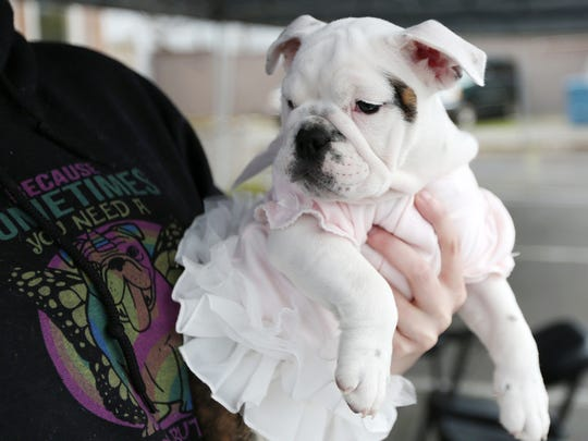 Bubbles, an 11-week-old special needs Bulldog, greets visitors at the Pacific NW Bulldog Rescue booth during the annual K9 run on Saturday, April 1, 2017, in Stayton. The dog-friendly race supports the Stayton Police Department's K9 program. Courses (5K and 9K) included street and trail running.