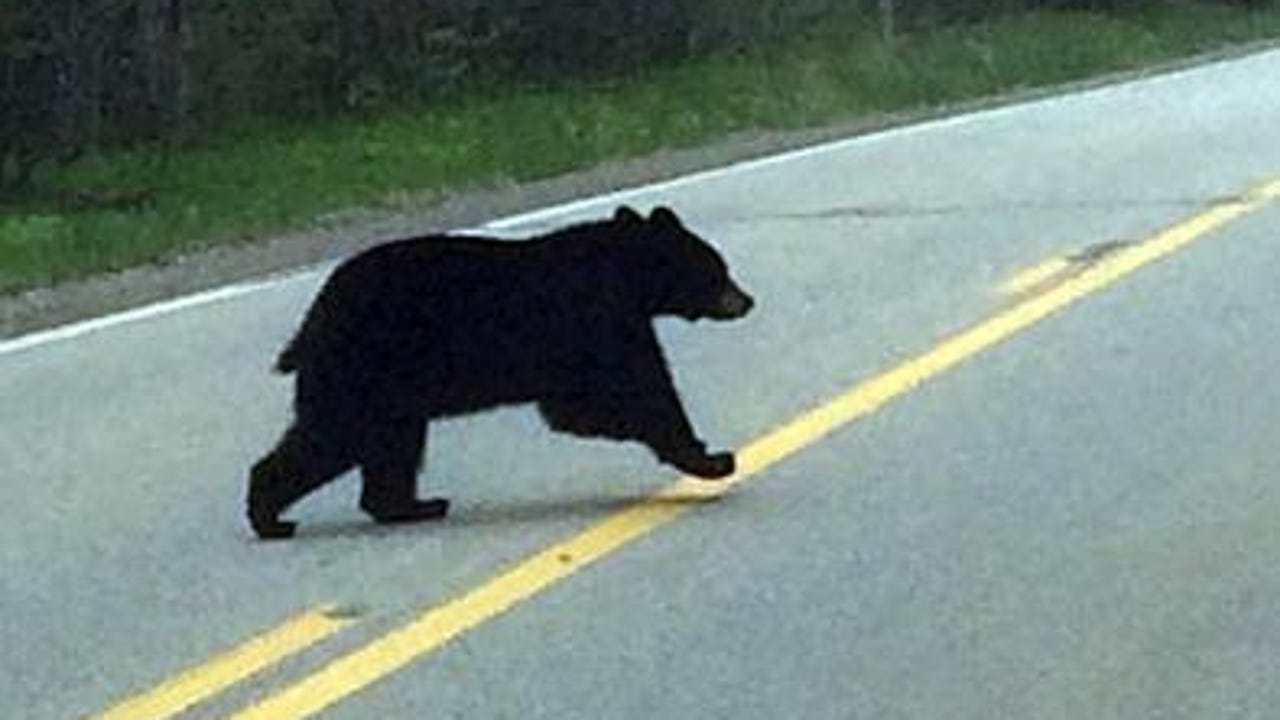 An approximately 250-300 pound black bear wandered into a Wisconsin Rapids neighborhood early the morning of Wednesday, May 10, 2017, and found its way into a tree near the intersection of East Riverview Expressway and Lincoln Street.