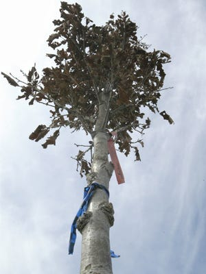 """One of the new crimson spire English oak trees planted Friday, April 27, 2018, in Deland Park in Sheboygan, Wis. The city was honored that day with a """"Tree City USA"""" title from the national Arbor Day Foundation, and was Wisconsin's first city to earn the title 40 years ago."""
