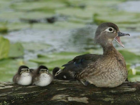 USFWS wood duck