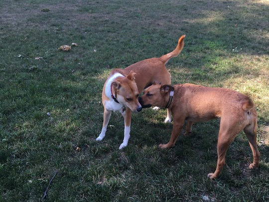 Beagle-Basenji mix Sugarbaby of Plymouth (left) is a graduate of Trust and Obey Pawsitive Dog Training. Here, she is greeting a playmate at Northville's Maybury State Park.