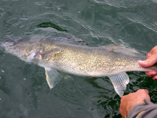 636275370556238888-Walleye-Release-Small-41.jpg
