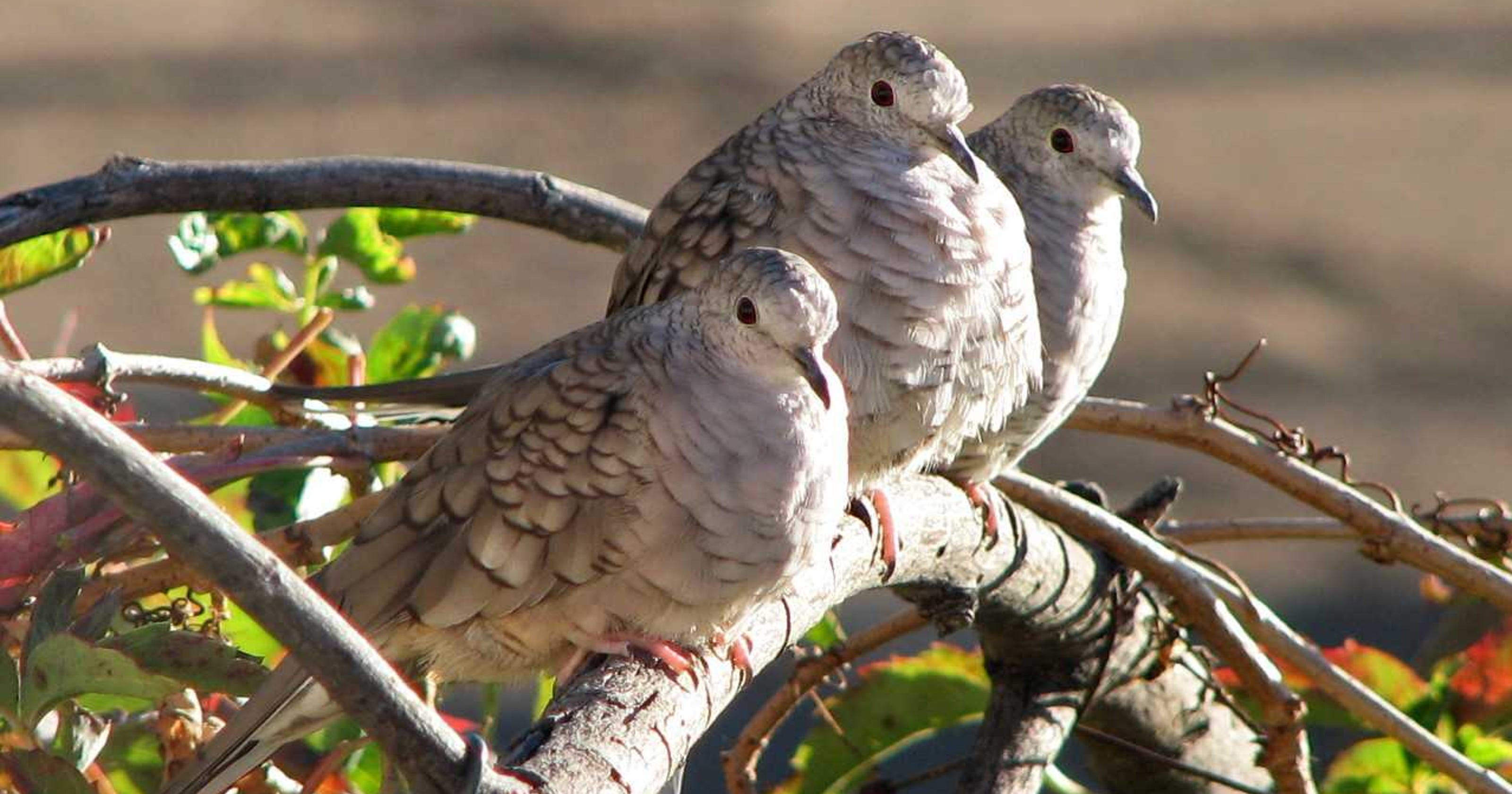 Naturally Speaking Doves Said To Symbolize Peace Renewal