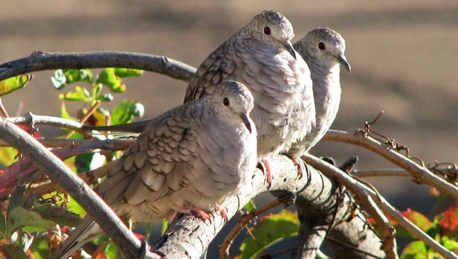 A trio of Inca doves huddles together in the Mesilla Valley.