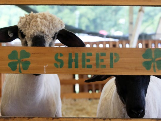 Second day of Somerset County 4-H Fair held at North Brach Park in Bridgewater on Thursday August 11, 2016.Two sheep peer out from their pen inside of there small sheep tent area of the fair.