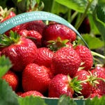 "Strawberry Sunday ""Chef Clash"" June 28 at the Birmingham Farmers Market will feature all things strawberry."