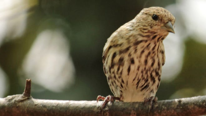 Pine siskins appreciate plants with berries in winter when other sources of nutrients are less plentiful.