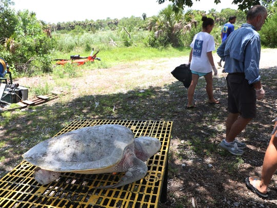 A dead Kemp's ridley sea turtle found on Sanibel Island