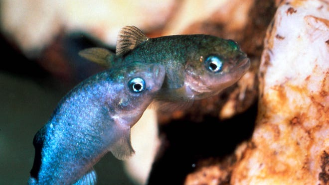 This undated file photo shows two Devil's Hole pupfish in a cave at Death Valley National Park in Nevada, northwest of Las Vegas near Ash Meadows National Wildlife Refuge.