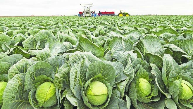 Farmworkers harvesting Green Cabbage at Amigo Farms in Yuma, Arizona.
