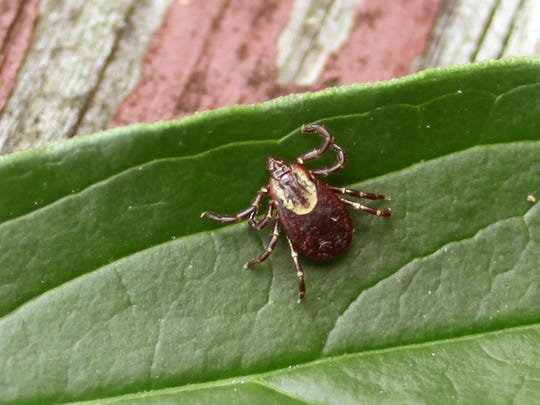 The American dog tick, the most often contacted tick in Michigan, can be picked up in woods or tall grass.