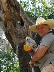 Conservancy of Southwest Florida volunteer Tim Thompson returns a barred owlet to its nest. The owlet joined its siblings in the nest with the mother continuing to care for her babies until they fledged.