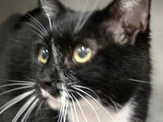 This 12-year-old black and white domestic short hair female cat is spayed. She is named Socks. Socks is good with kids. Her adoption fee is $35.83. For more information about adopting a Pet of the Week or other furry friends visit Alamogordo Animal Control, 2910 N. Florida Ave., Monday through Saturday between noon and 5 p.m. or contact them at 439-4330.