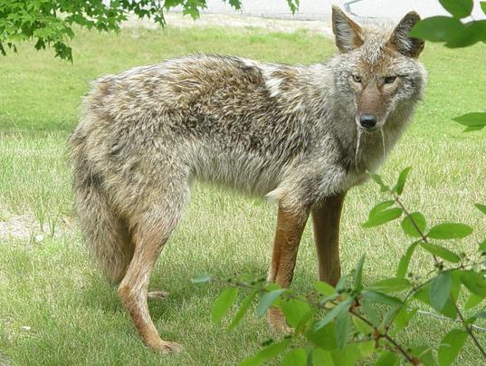rabid coyote found in gray. Black Bedroom Furniture Sets. Home Design Ideas