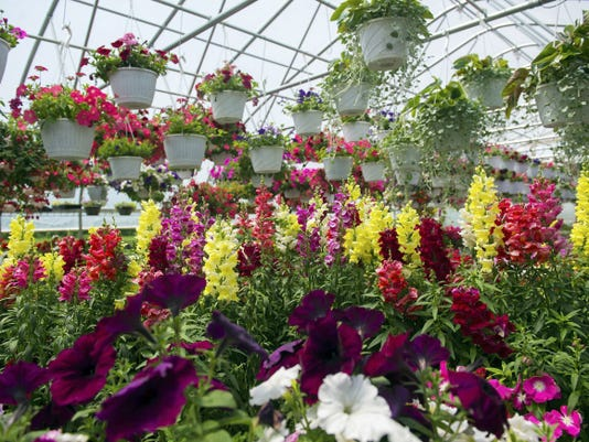 Rows of petunias, snapdragons and hanging flower baskets grow in the Farmstead Flowers greenhouse.