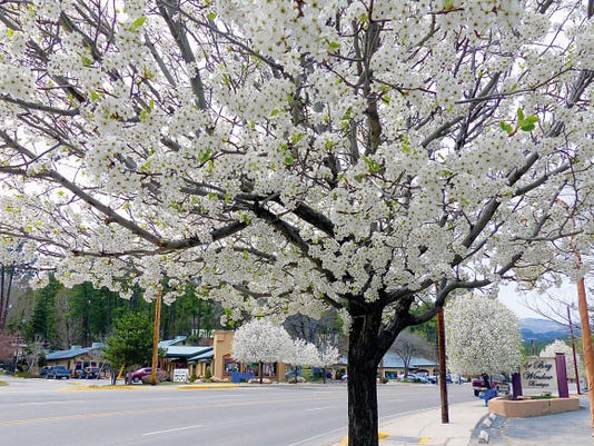 The dark bark of this flowering trees offers a stark contrast to the delicate white blossoms. Bradford pear trees, planted years ago to soften the look of Midtown Ruidoso and make it more inviting for visitors, ignored the wind and sent out canopies of white flowers. Ruidoso Parks and Recreation Director Rodney Griego said this is his favorite time of year because of the blossoms.