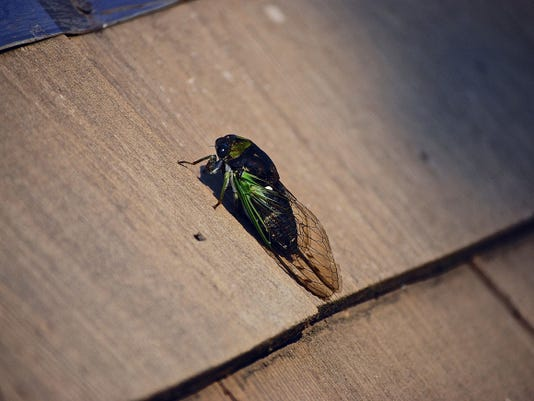 Annual cicadas, as well as their predators, serve as important components in the natural food web of our local ecosystem, a complex design in which we all play a part.