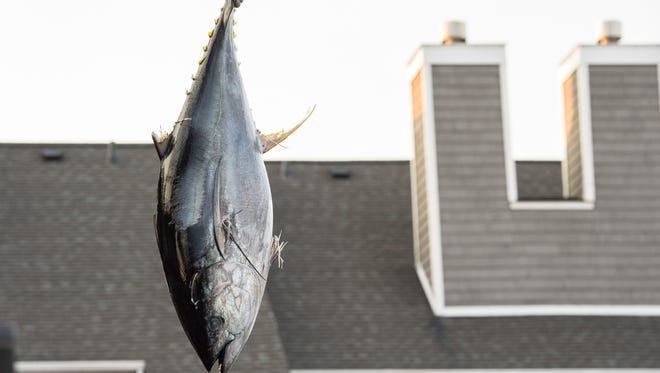 A 67 pound tuna is suspended from a rope at the Harbour Island Marina during the White Marlin Open on Tuesday, Aug. 8, 2017.