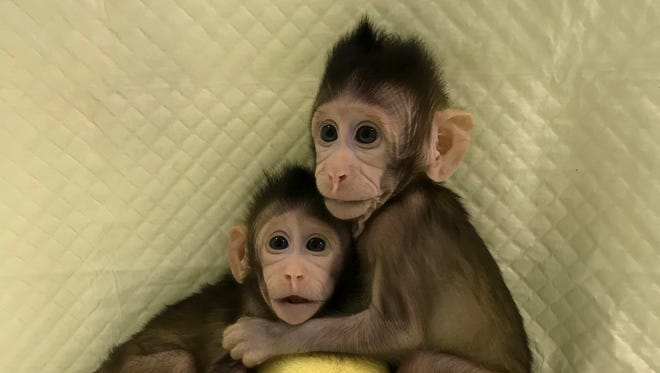 In this undated photo provided by the Chinese Academy of Sciences, cloned monkeys Zhong Zhong and Hua Hua sit together with a fabric toy. For the first time, researchers have used the cloning method that produced Dolly the sheep to create two healthy monkeys, potentially bringing scientists closer to being able to do that with humans.