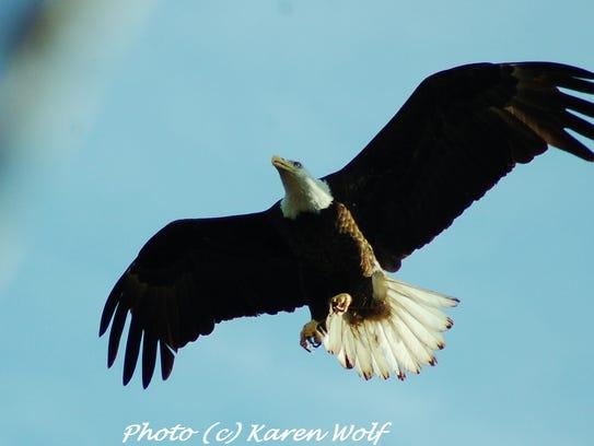Bald Eagles are the main attraction at the Conowingo