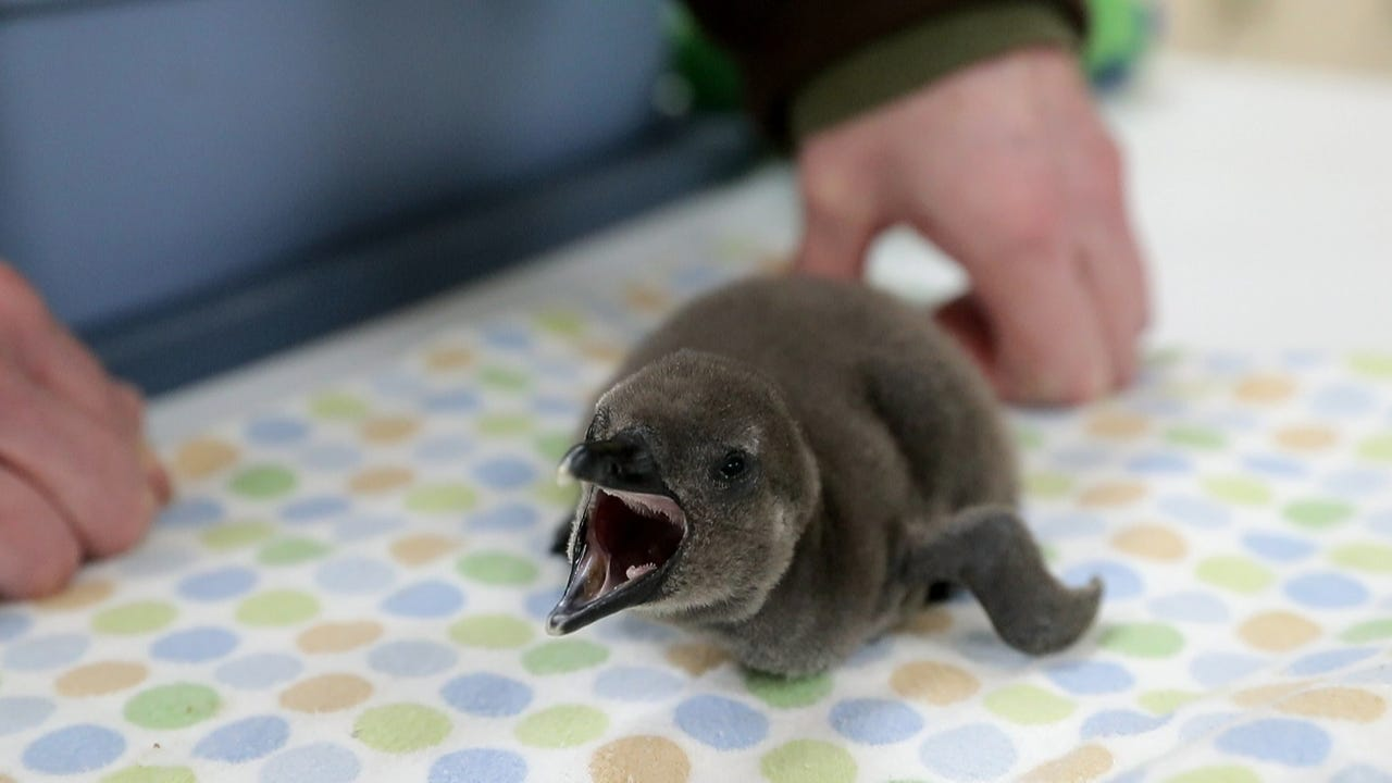 Meet one of NEW Zoo's adorable new penguin chicks