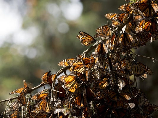 Mexico Monarch Butterflies