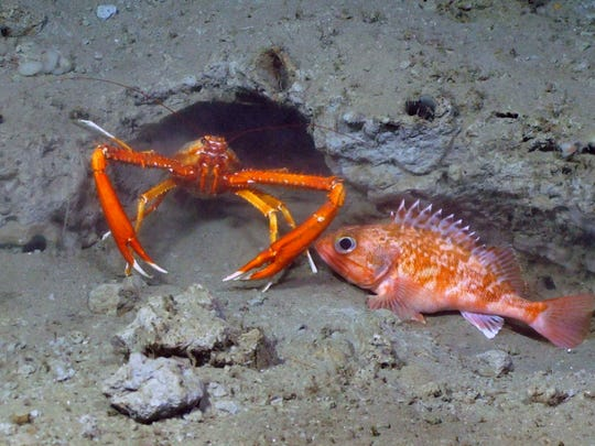 A squat lobster and small Black belly rosefish huddle