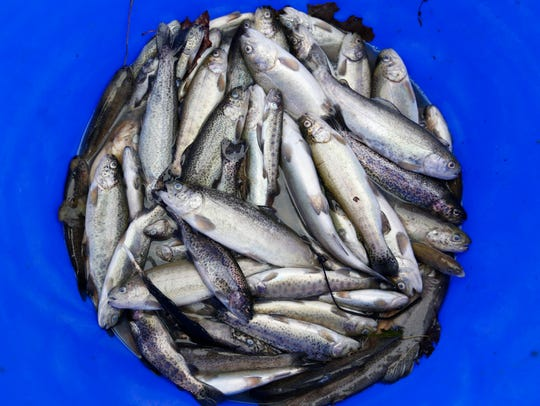 A bucket of dead trout sits next to a raceway at the