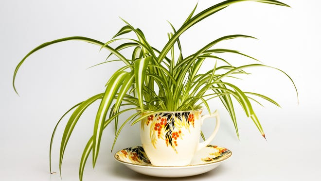 Spider plants like fast-draining, well-aerated potting mix.