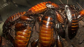 Do you want to get back at your ex? The San Francisco Zoo is hosting a fundraiser where people willing to adopt a hissing cockroach or scorpion for $50 can receive a certificate of adoption sent to their ex.