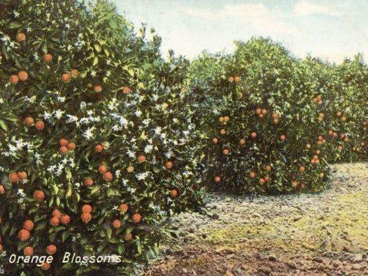 orange_blossoms.jpg