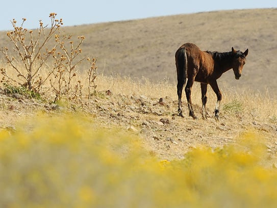A wild horse grazes at the bottom of USA Parkway, near