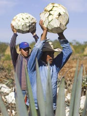Farmers load blue Agave plants onto a truck for the production of tequila.