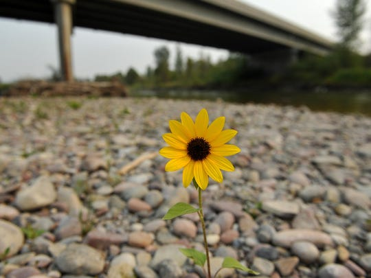 A wild flower grows on a portion of dried river bed along the Sun River in Simms on Thursday.
