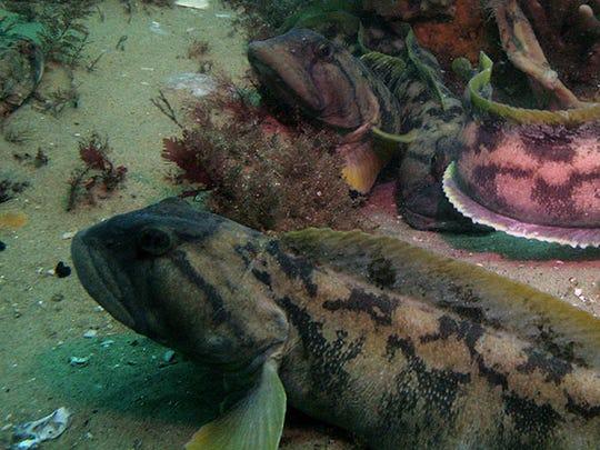Eel-like ocean pout fish.