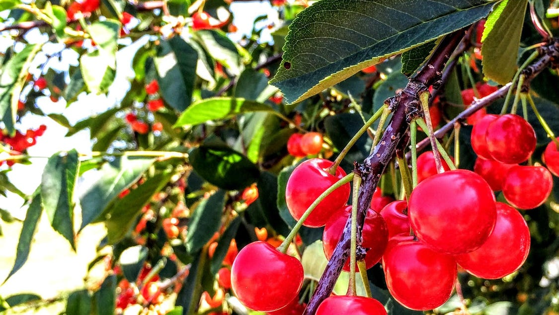 Door County Cherry Season Starts