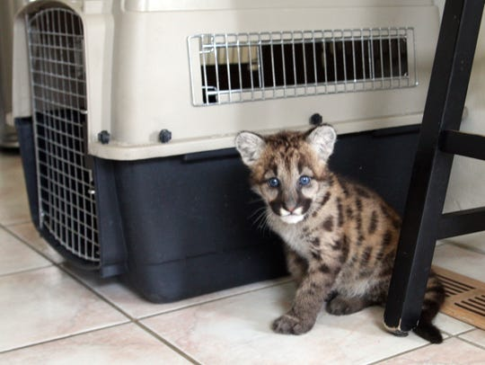 Johnnie, a 12-week-old mountain lion cub, arrived at