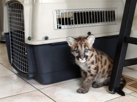 Johnnie, a 12-week-old mountain lion cub, arrived at the Monterey Zoo two weeks ago.