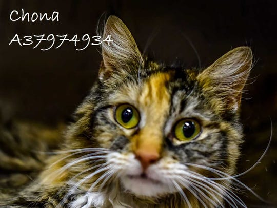 Chona - Female domestic medium hair, juvenile. Intake
