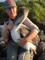 Clemson University graduate student Rochelle Streker holds a banded brown pelican chick as part of a group of scientists' work on 'Project Pelican' that's studying the movement of 850 pelicans in the Gulf Coast
