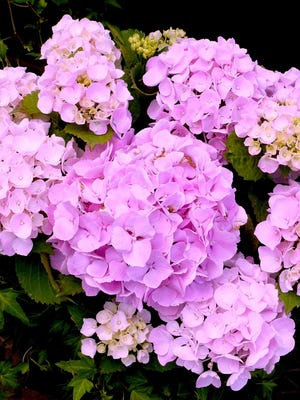 The large, showy, globular blossoms of the hydrangea symbolize heartfelt emotion. The July 2 Hydrangea School at Secrest Arboretum in Wooster has been canceled. For more information, go to