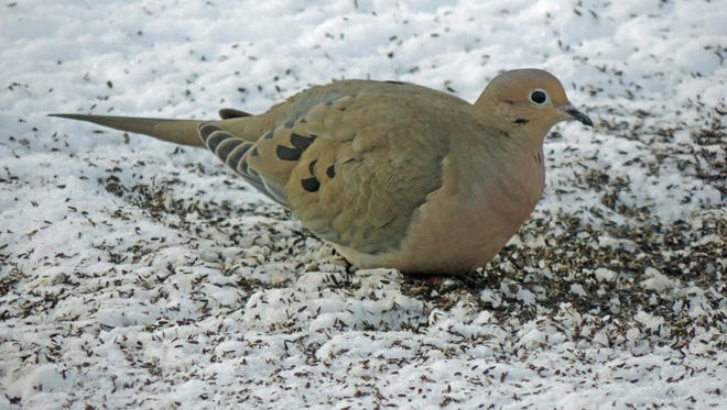 A mourning dove grazes on the ground beneath the bird feeders outside Bob and Jane Kuhn's kitchen window.