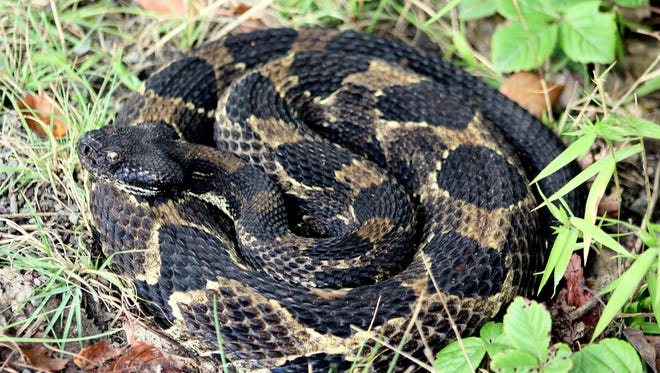 Each time the timber rattlesnake sheds its skin, it adds a new rattle.