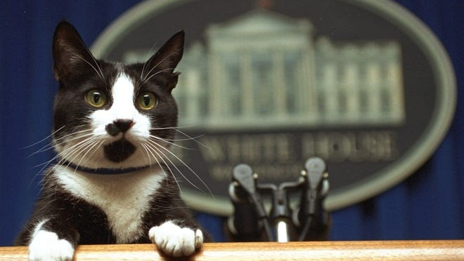 """FILE- In this March 19, 1994 file photo, Socks the cat peers over the podium in the White House briefing room in Washington. Hillary Rodham Clinton in 1998 followed Bush's lead, with a children's book about family dog Buddy and cat Socks. """"Dear Socks, Dear Buddy: Kids' Letters to the First Pets"""" featured photographs of the pets, details on their habits and more than 50 letters from children to the pets. (AP Photo/Marcy Nighswander, File)"""