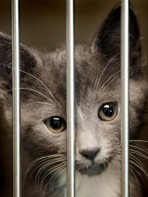A kitten waits to be adopted at the Animal Service Center in 2010.