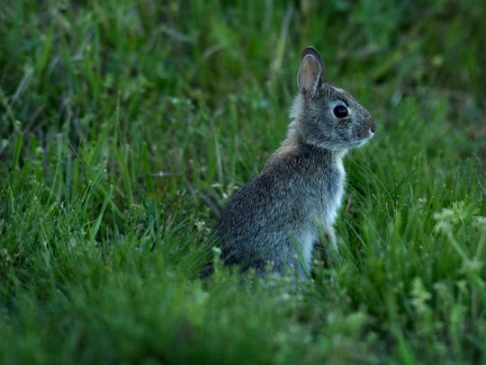 An Eastern Cottontail bunny takes a break from nibbling