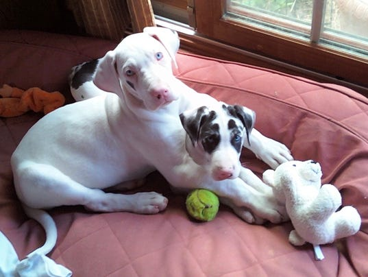 FEA Great Danes - puppies