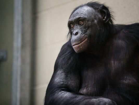 0416 bonobos 01.jpg