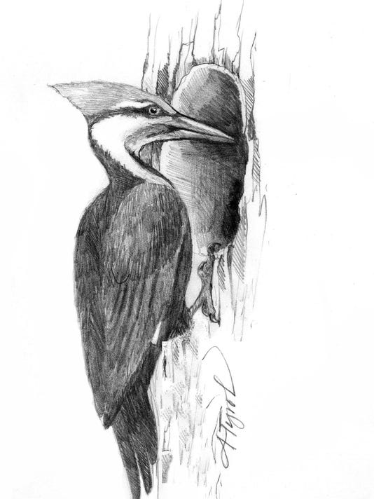 TOS_Pileated